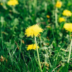 flores e folhas do dente de leão